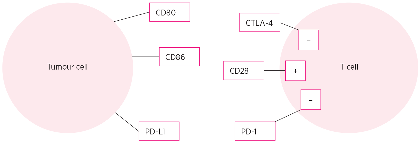 Schematic diagram showing immune checkpoints CD80, CD86 and programmed cell death ligand 1 on a tumour cell, and cytotoxic T-lymphocyte associated antigen 4, CD28 and programmed cell death 1, and their effects on stimulatory and inhibitory pathways, in a T cell.